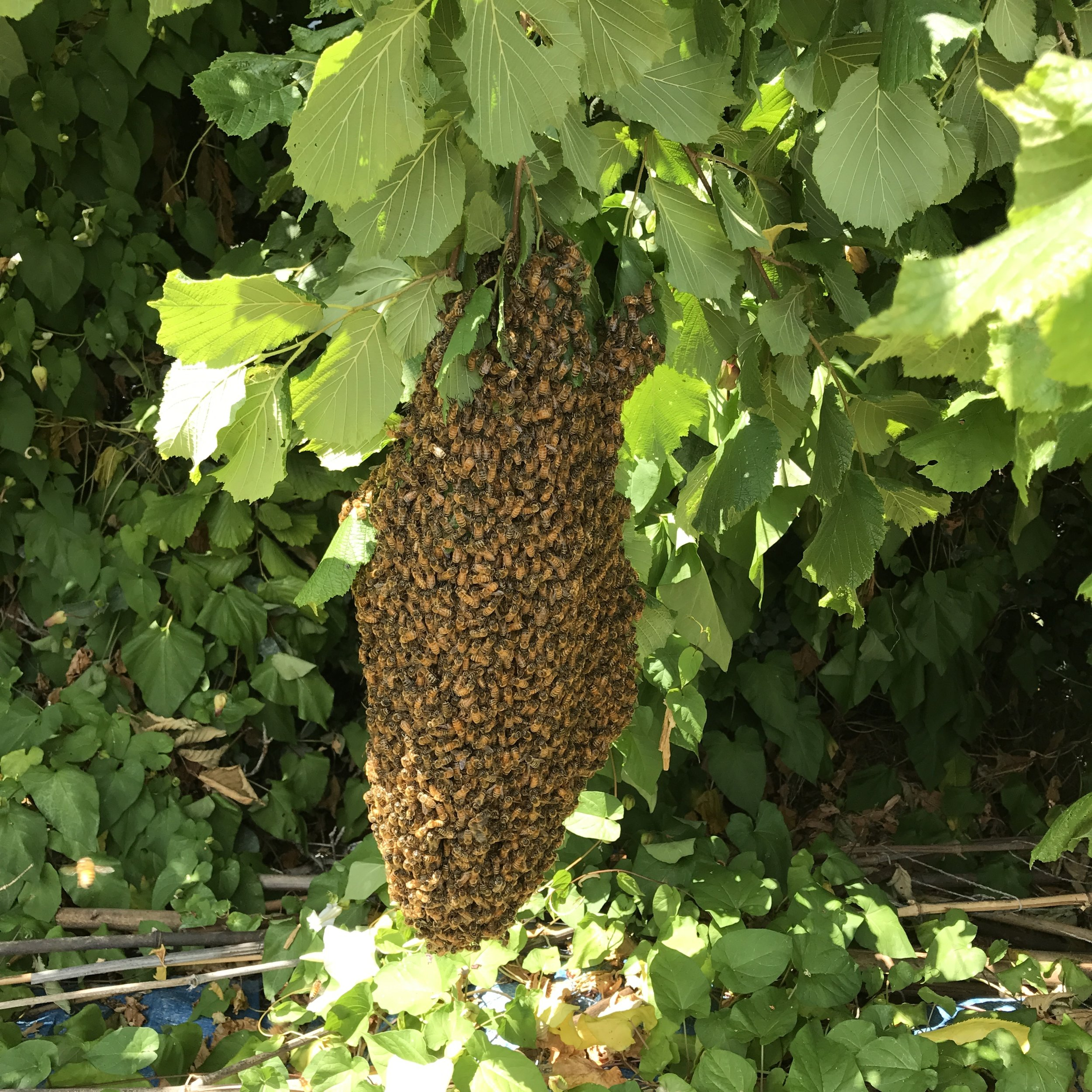 save the swarm!