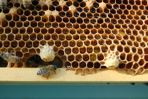 Two queen cups at the bottom of a brood frame.