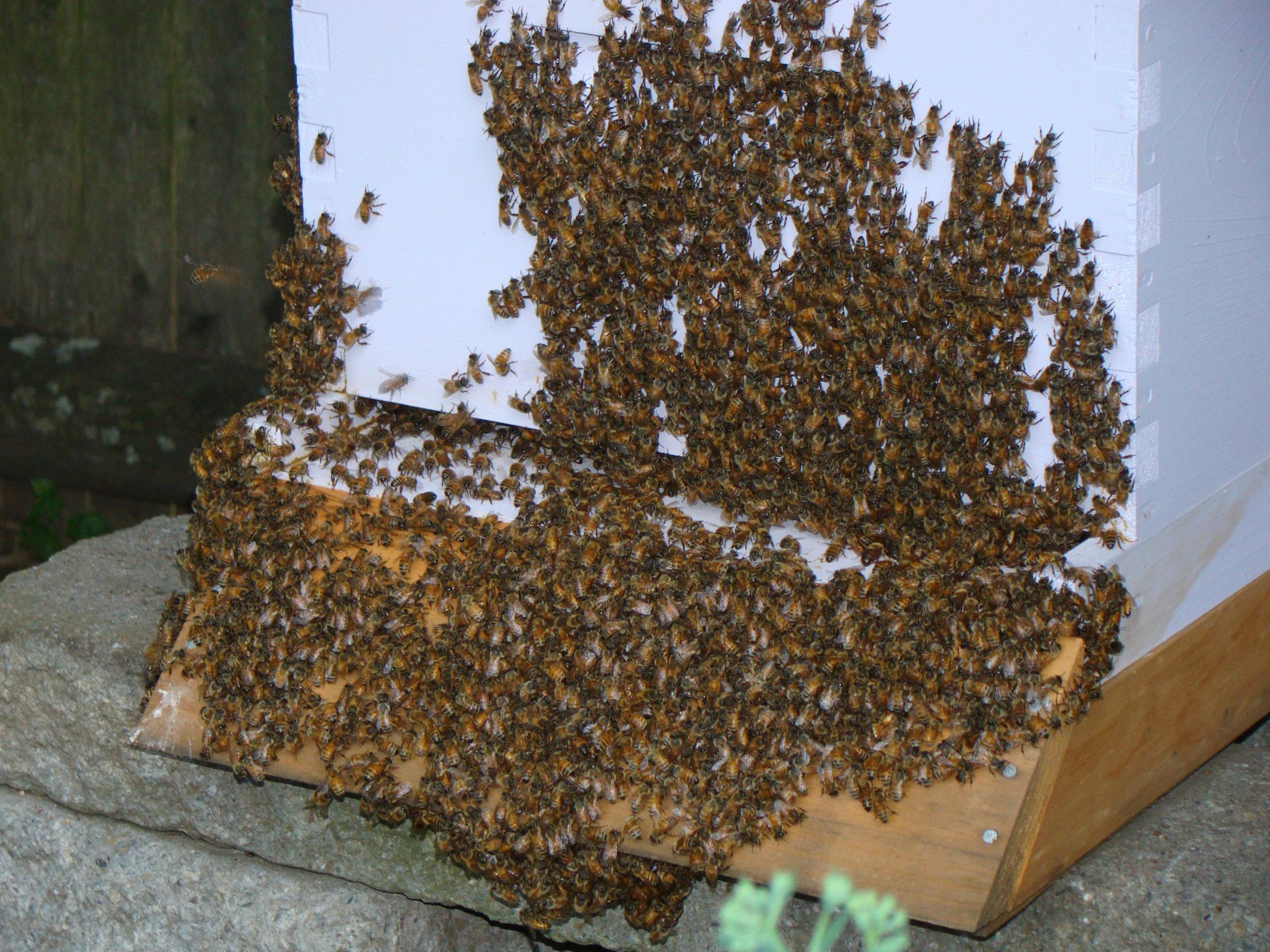 Bees bearding at the hive entrance