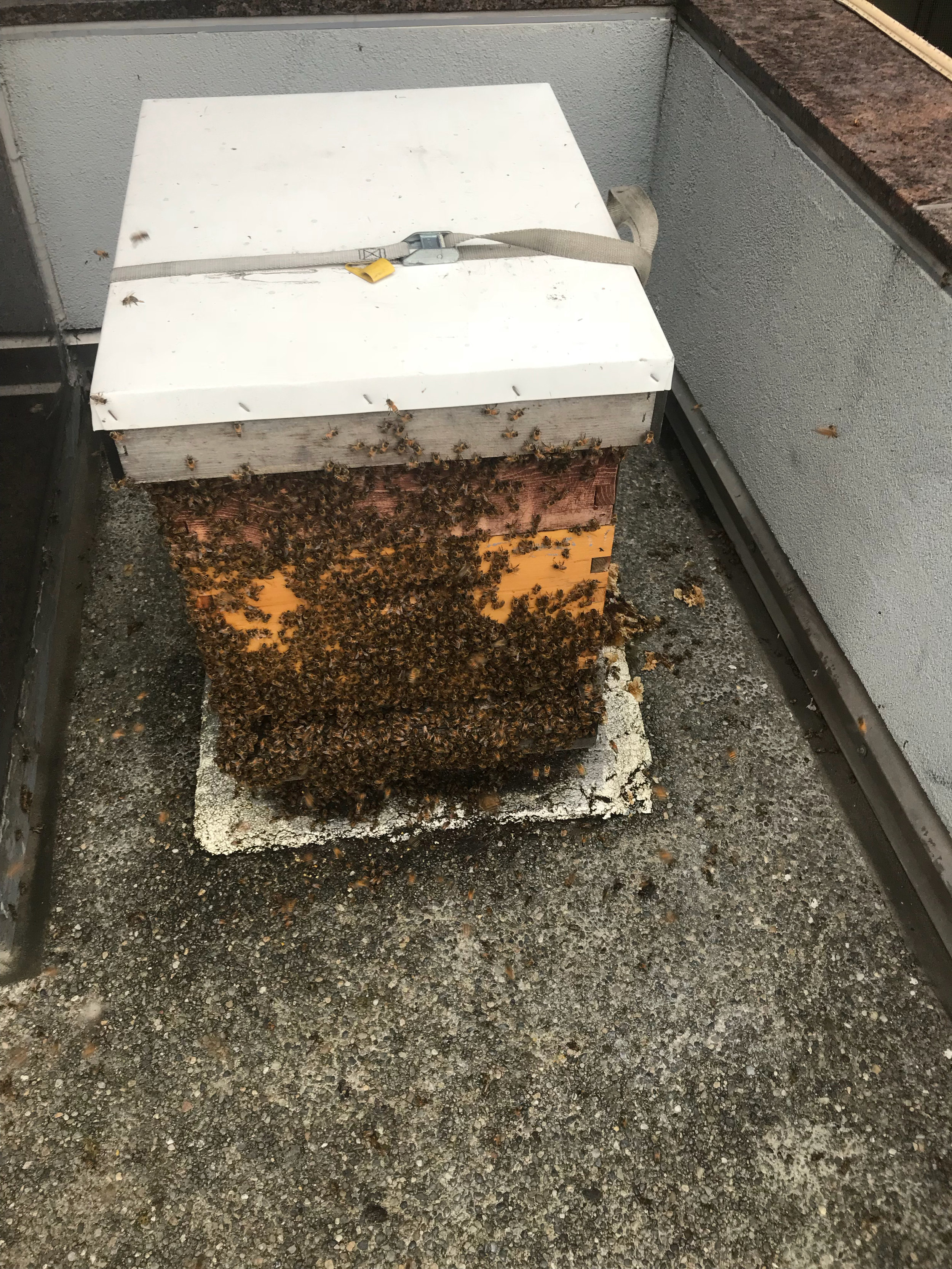 Colony a bit angry after inspection. Hive has been put back together and strapped down.