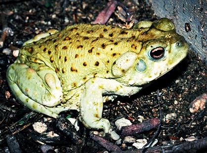 toad_med.png