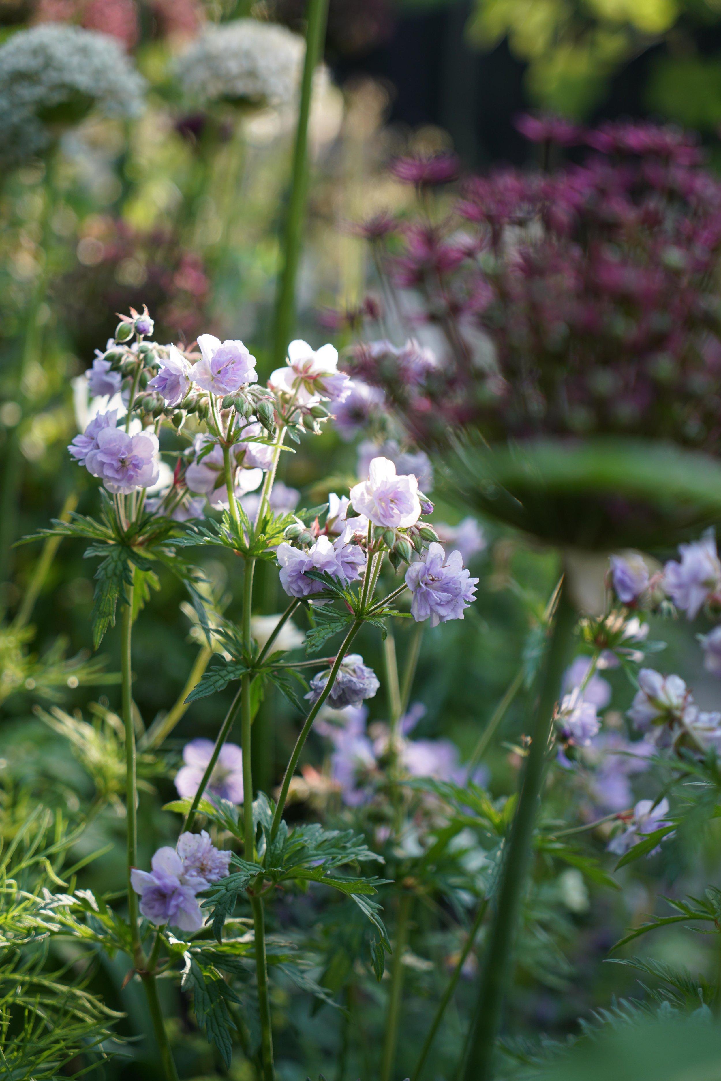Farlamandchandler - Whitstable - Kent - Gardendesign_Geranium-2.jpg