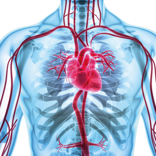 Diabetes.org.nz_what-is-diabetes_Heart-and-blood-vessels.png