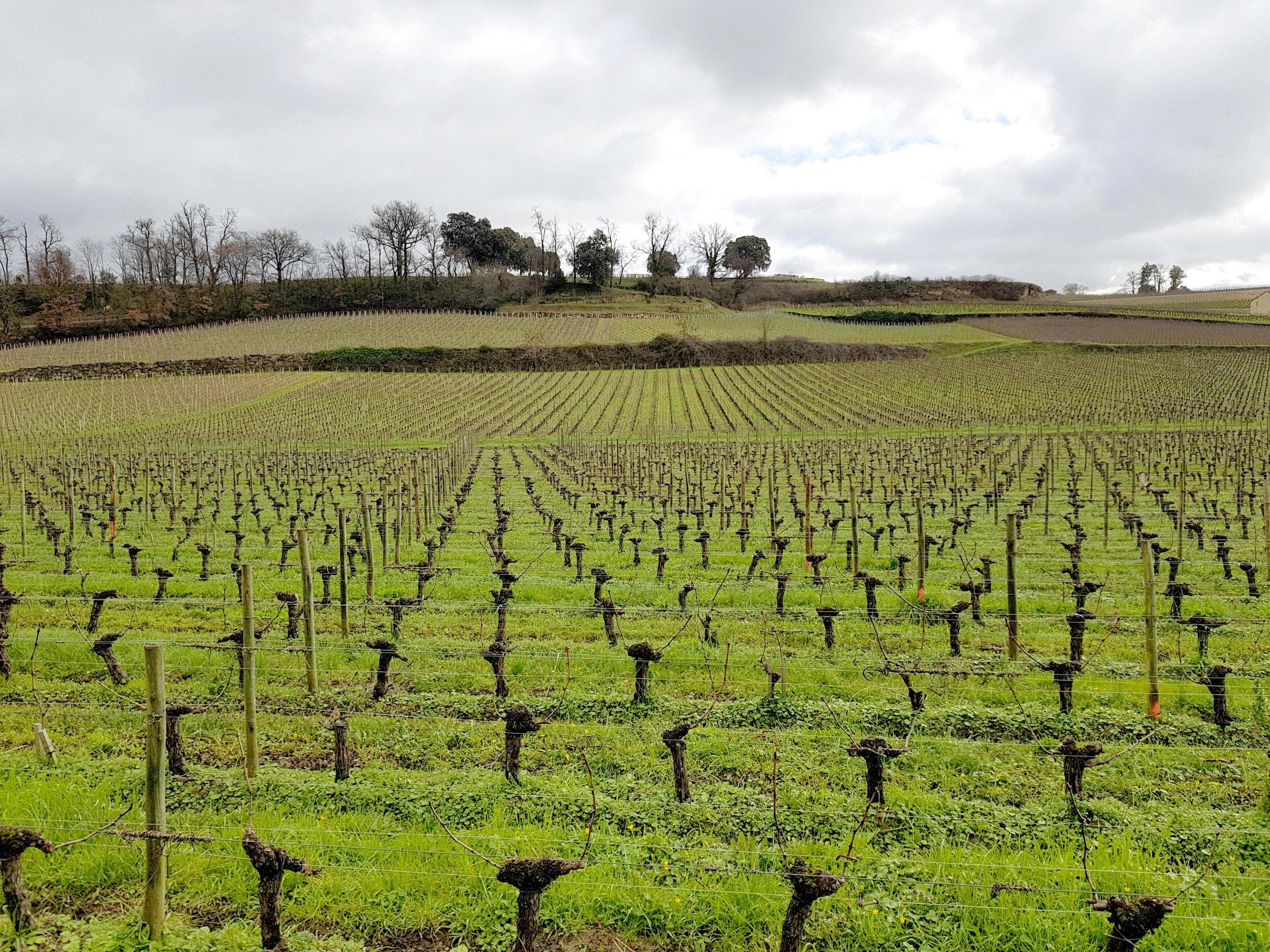 Bordeaux Saint Emilion Winery Vines