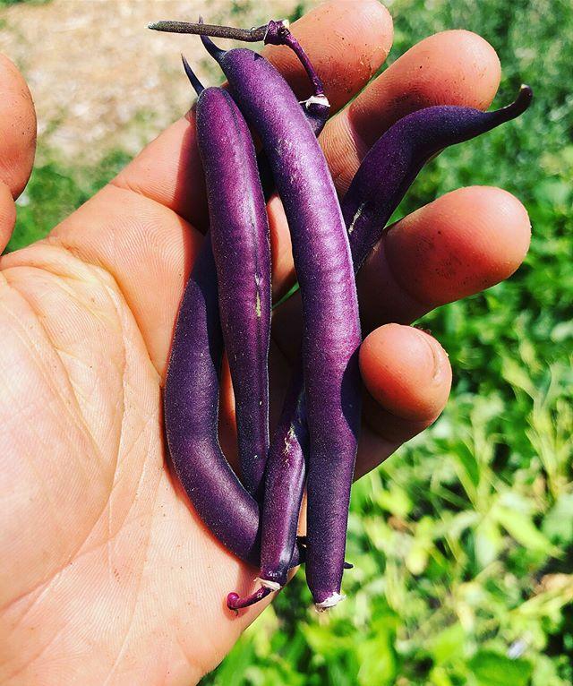 Everything tastes better when purple am I right?? #beanboozled #chompchomp