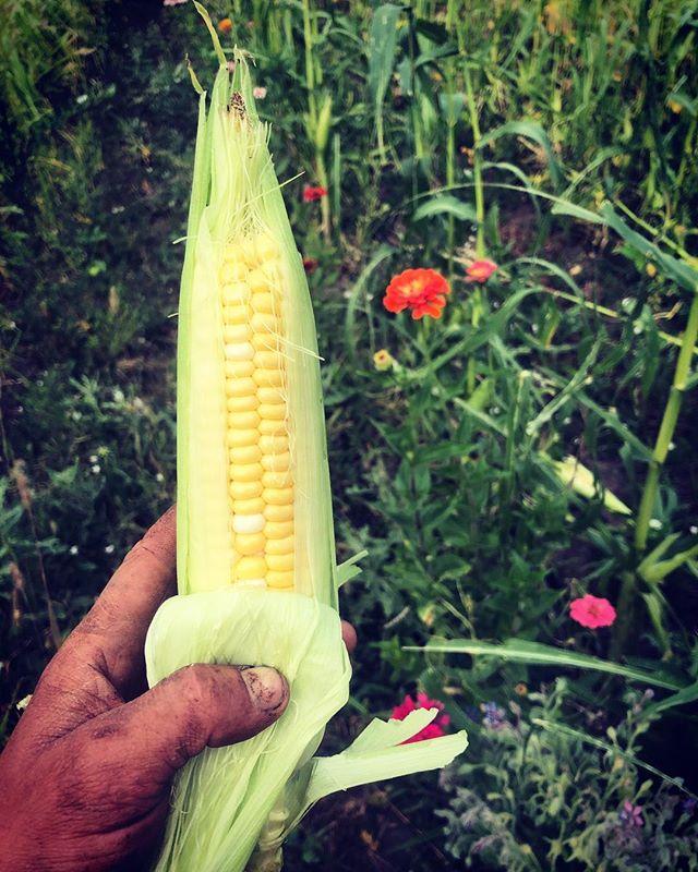 This is the first year we've  grown corn and we are really proud 🤩🤩🤩 #lookatmenow #lookatmenow #gettincorncobbbbs #denverfarms #urbanfarming #chomptheyard
