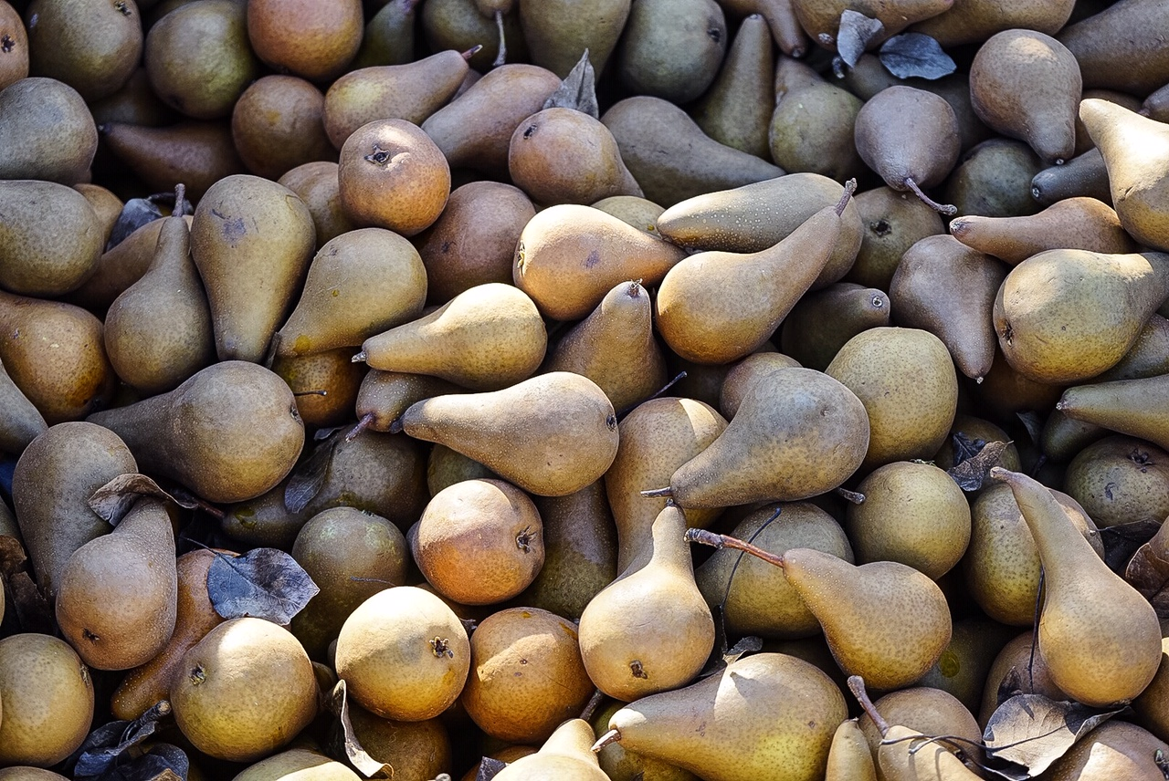 Pears at Fishkill Farms.jpg