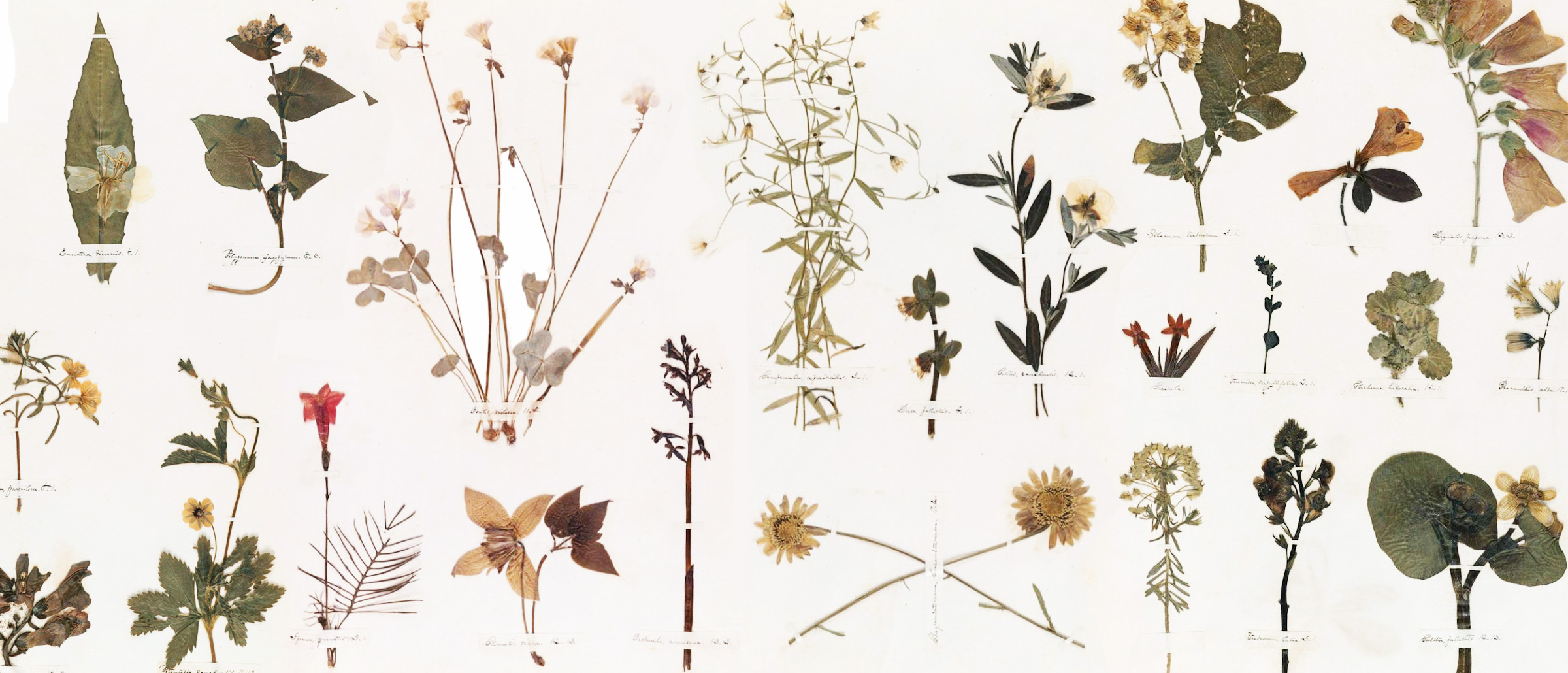 An excerpt from Emily Dickinson's herbarium which is digitised and held at Houghton Library at Harvard University.