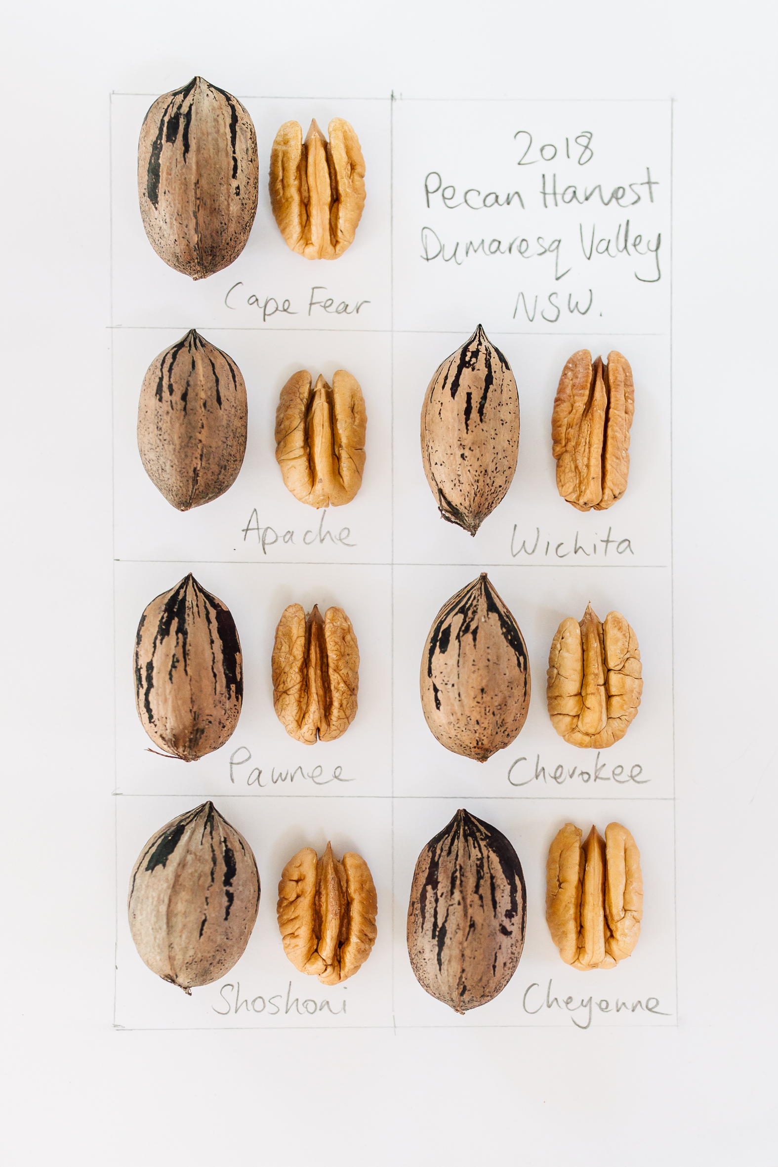 My pecan assignment on this year's harvest, with the different varieties grown on our farm.