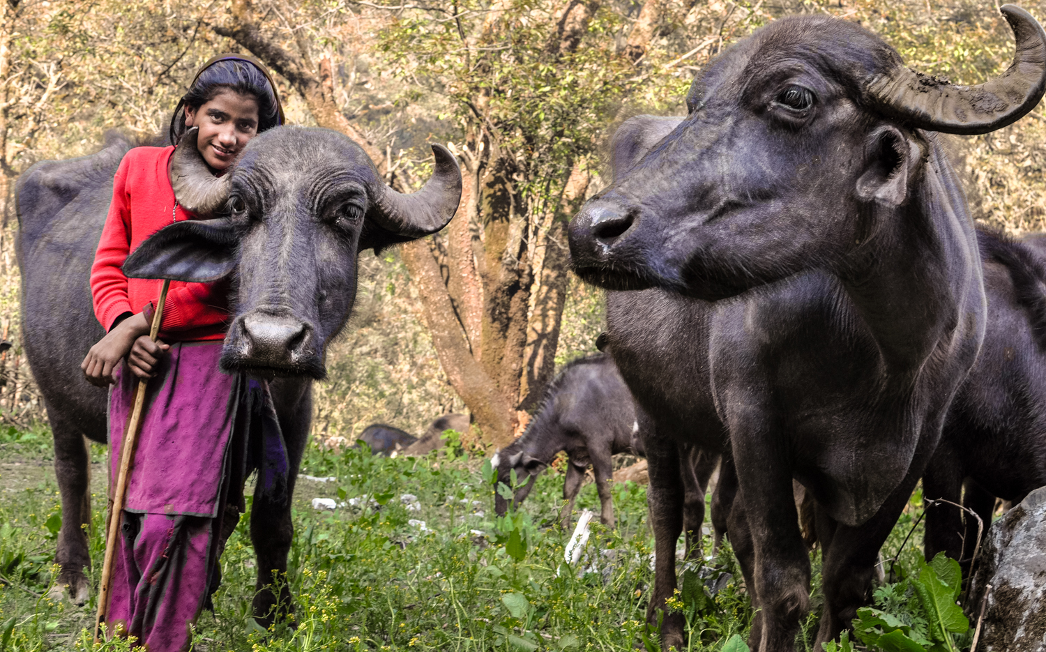 Van Gujjars have deep personal relationships with their buffaloes, thinking of them as family members. They would never dream of killing their animals for meat, or selling them for slaughter.
