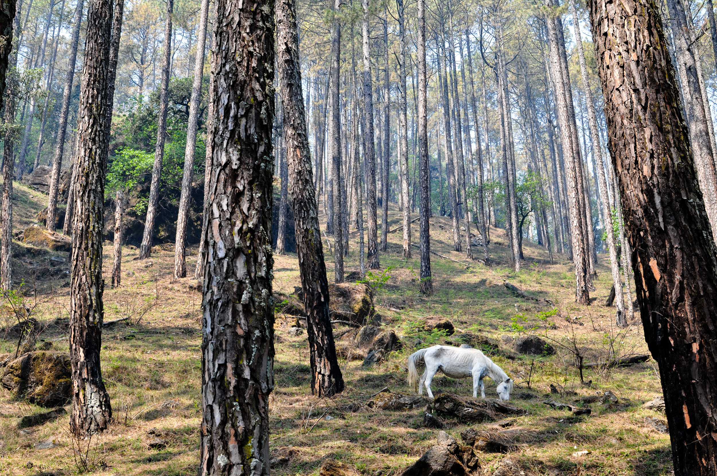 A pack horse grazes freely in a pine forest.