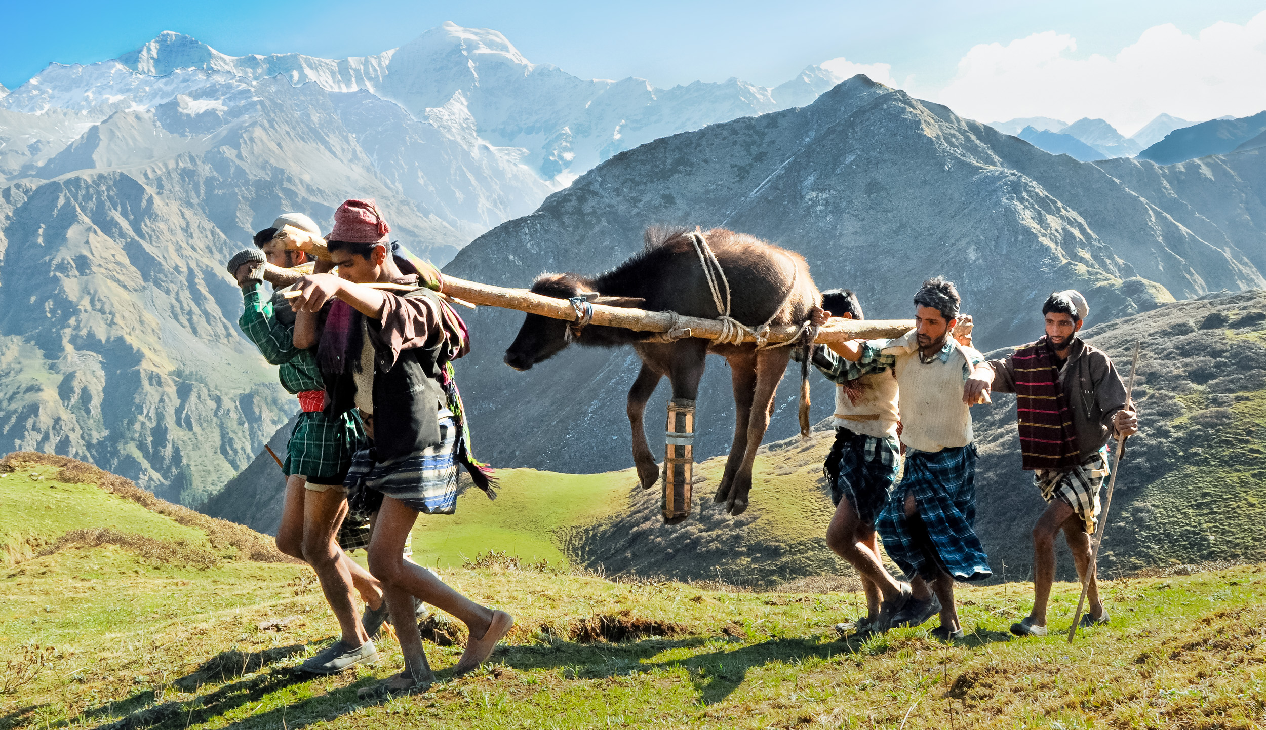 A yearling with a broken leg is carried over a Himalayan pass - which rises about 3000 feet up steep, exposed switchbacks - to the meadow where this Van Gujjar family will spend the summer.