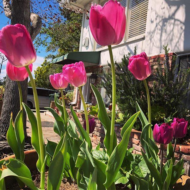 Garden Party 🌷🌷🌷 . . . #carmelgardeninn #visitcarmel #gardenvibes #gardenparty #tulips #spring #bnblife #carmel #carmelca #carmelbythesea #wakeuphappy #bedandbreakfast #visitcalifornia #tripadvisor