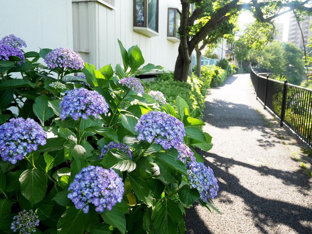 野川沿いに咲いているアジサイ。梅雨の始まりを感じさせますね。キレイ!