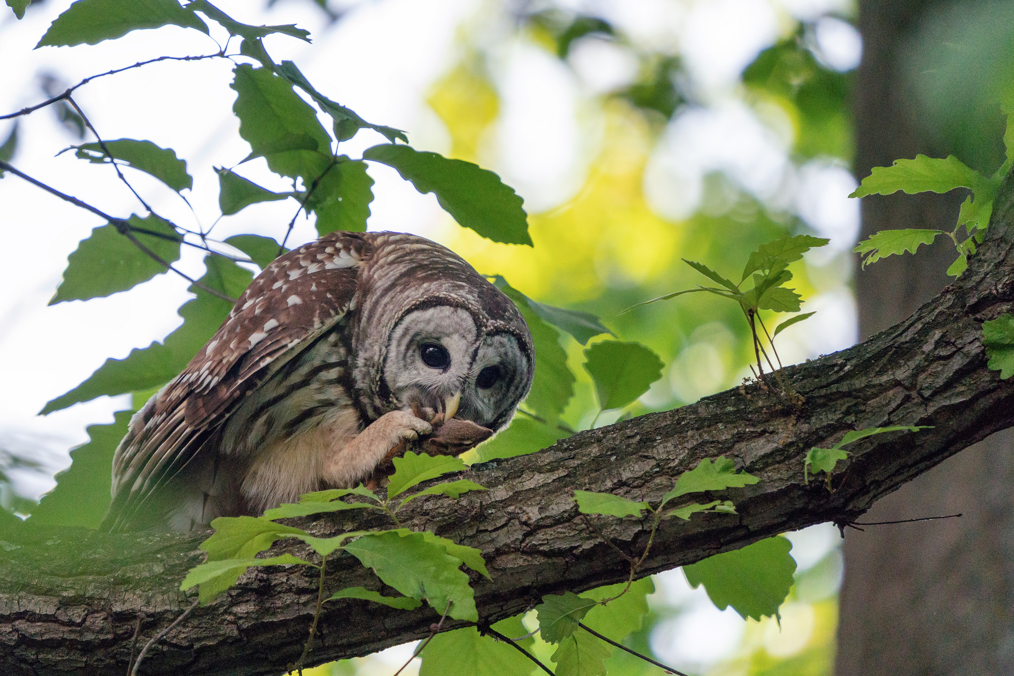 A Barred Owl with a freshly caught chipmunk near the Nature Center in Rock Creek Park, Washington DC