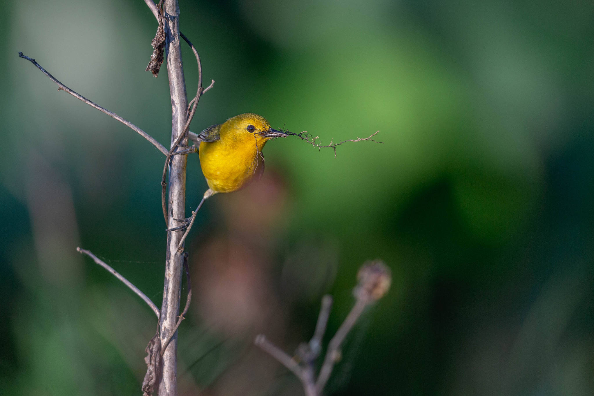 Prothonotary Warbler with materials for nest building, McKee Beshers-Hughes Hollows Wildlife Management Area, Poolesville Md