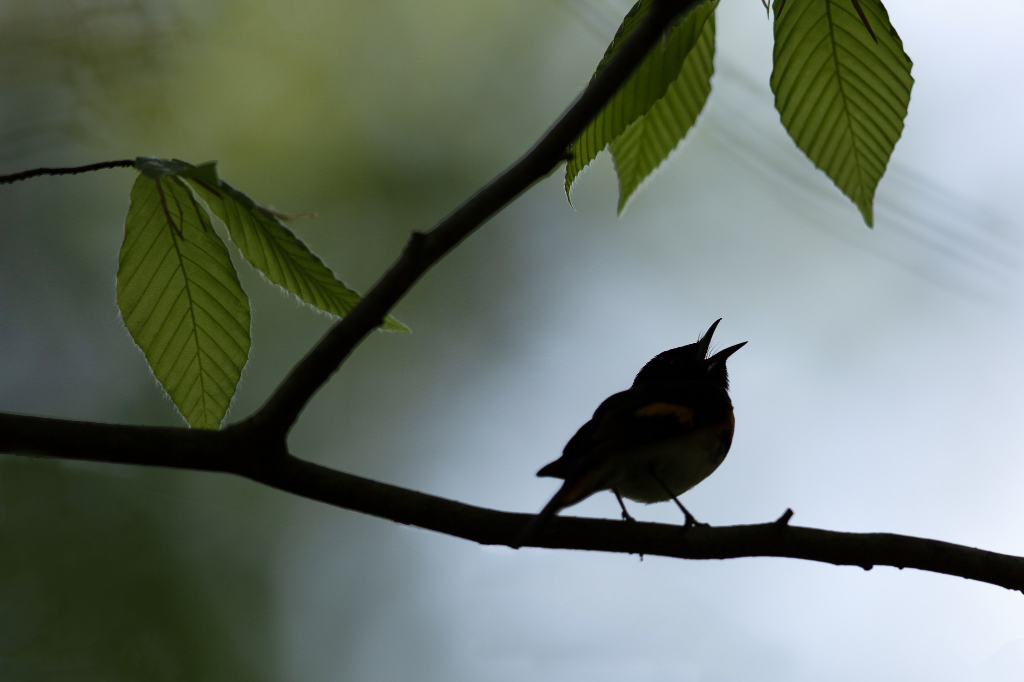 American Redstart silhouette singing in the morning, Patuxent Research Refuge North Tract, Laurel Maryland