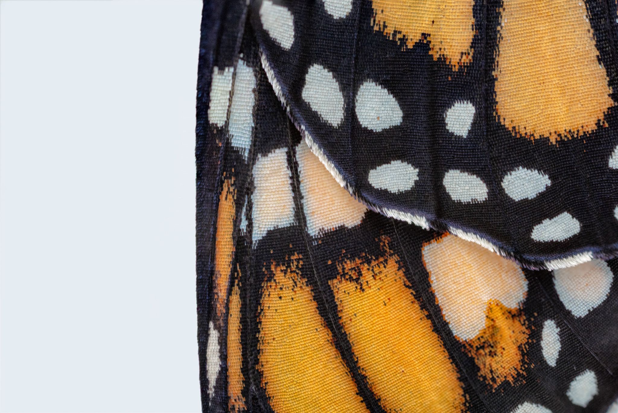 Monarch wing macro