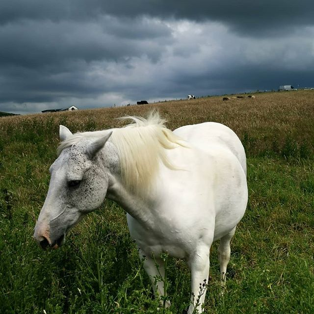 We met this beautiful being on our potter on the #ceredigioncoastalpath nr Aberporth looking ethereal against the incoming storm clouds. The rest of the view wasn't bad either 😉! #horsesofinstagram #whitehorse #walescoastpath #aberporth #staycation #wildflowers #holidaycottage #horse