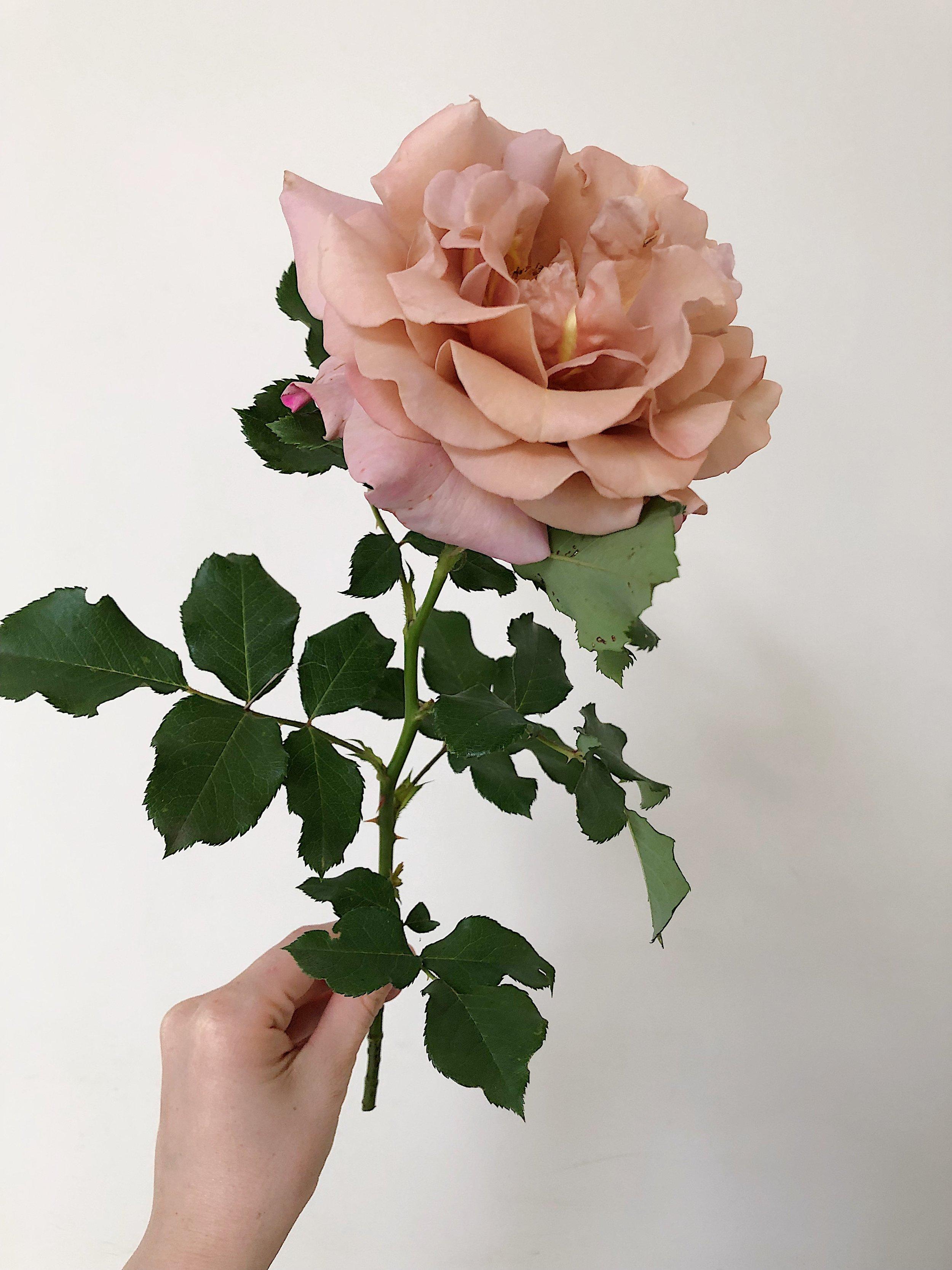 Koko Loco, garden rose