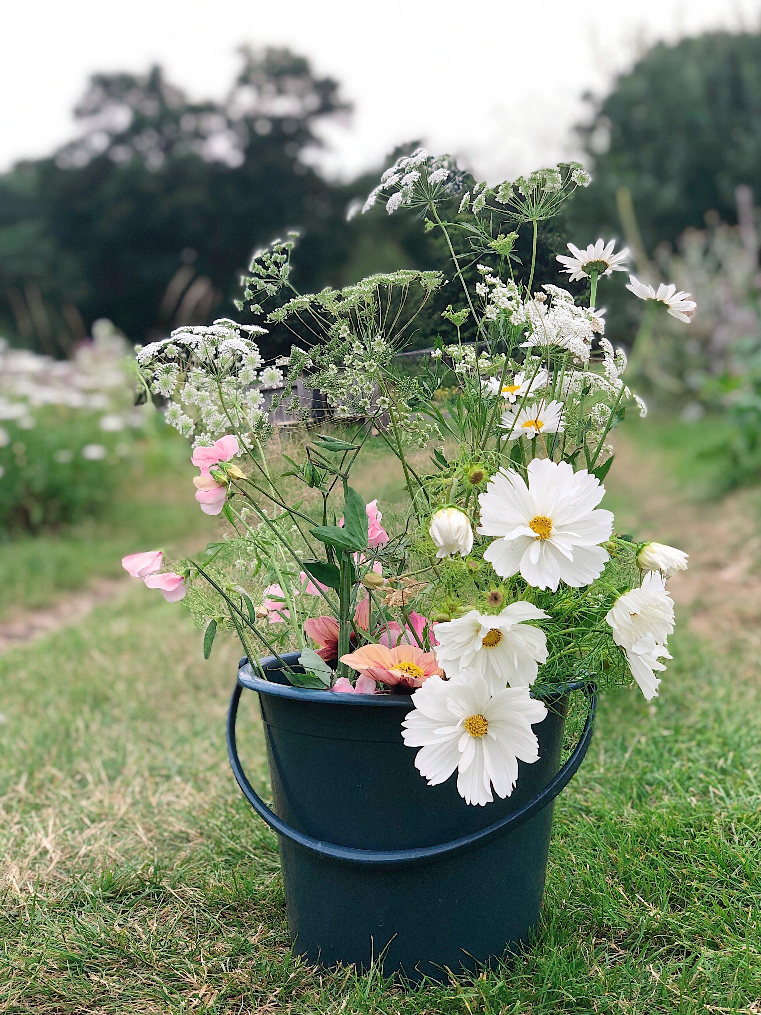 Buckets of happy Cosmos
