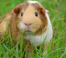 guinea pig 2.png