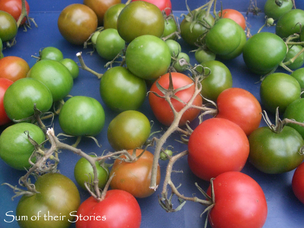tomatoes 12th October 2014.jpg