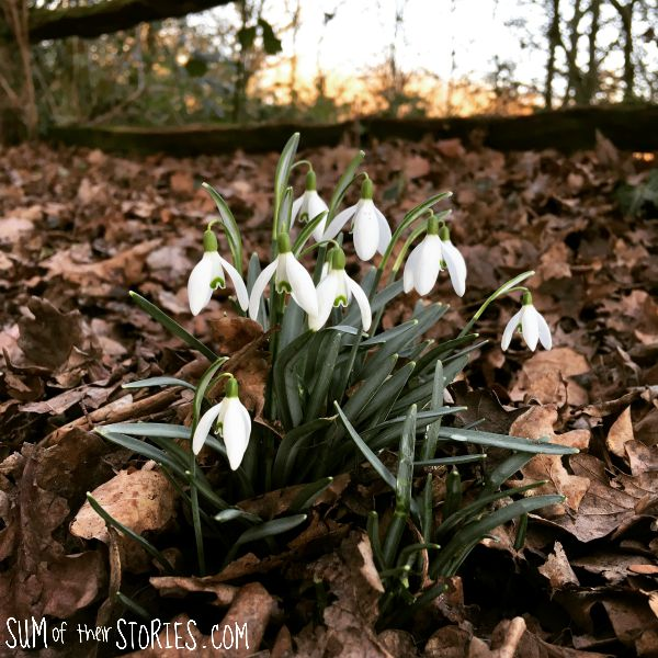snowdrops in the woods