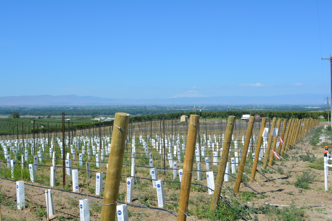 Vineyard New Planting June.jpeg