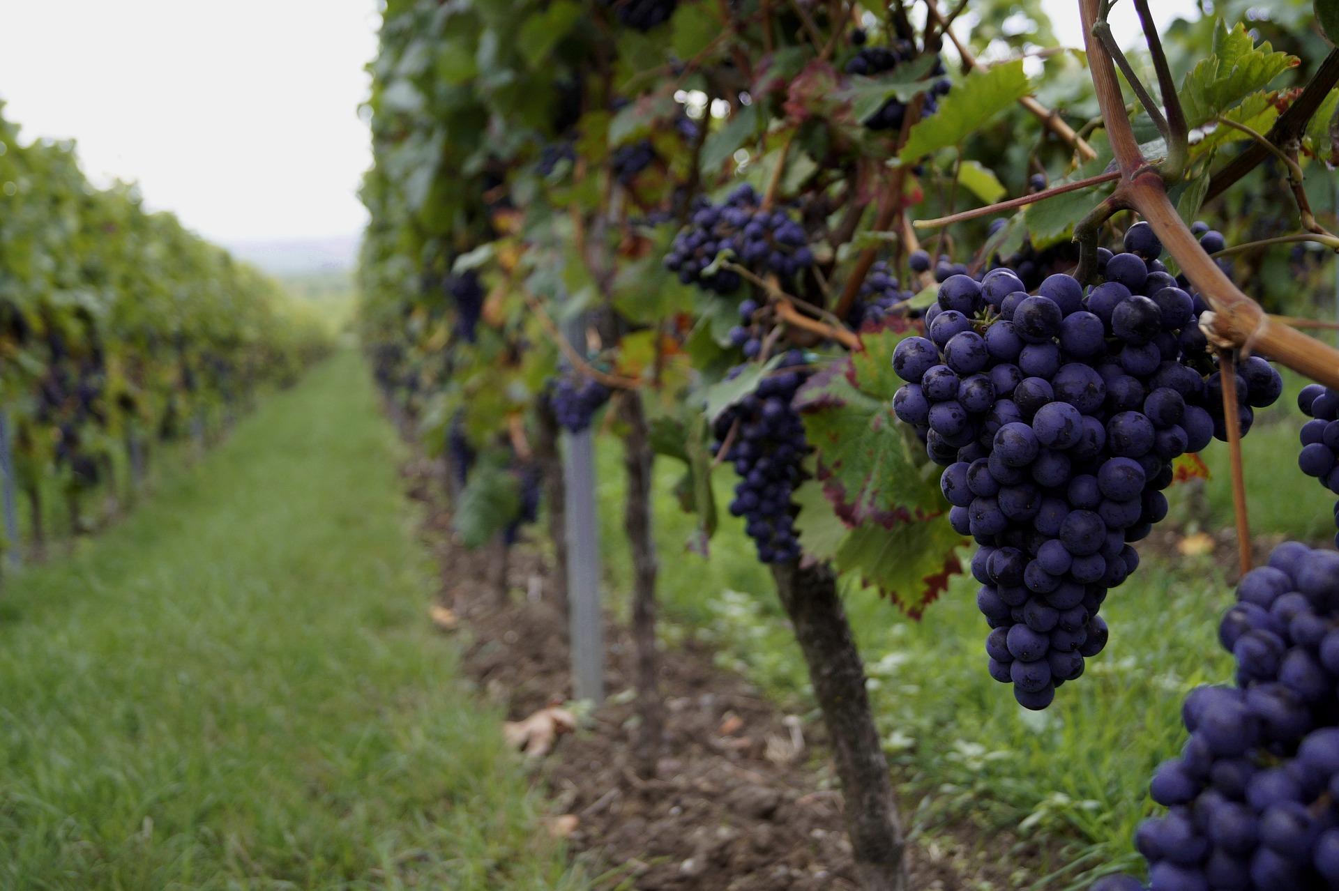 grapes-2560353_1920.jpg