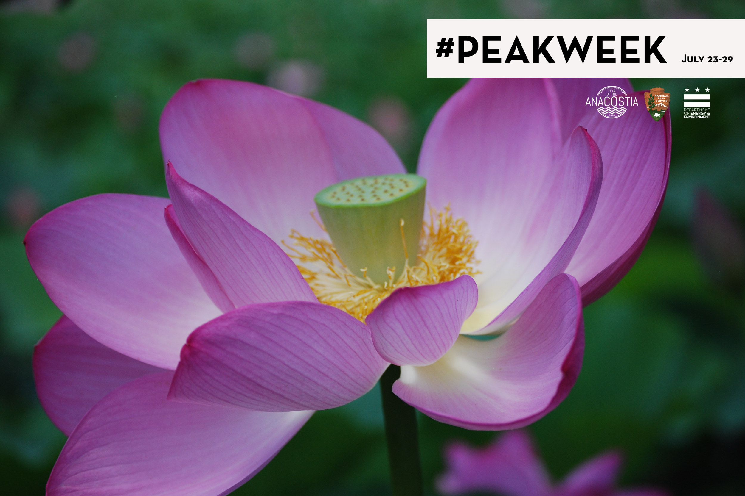 - Come to Kenilworth Aquatic Gardens the week of July 22 and experience a truly unique peak bloom. Everything you could want to know about Kenilworth Aquatic Gardens is in the NPS Cultural Landscapes report!Open 9 am to 5 pm daily, the gardens are accessible by bike, Metro and canoe!Is there a better reason to explore the Anacostia River watershed this week for the Year of the Anacostia?The week includes:Wednesday, July 25 5:30 pm & 6:30 pmRiver Ride with the Anacostia Watershed SocietyTake a pontoon ride on the Anacostia River and learn about the natural environment that surrounds the gardens.Online registration required.Thursday, July 26 10 am – 2 pmFrom Veteran to Water GardenerKenilworth Aquatic Gardens was created by Civil War veteran W.B. Shaw. He started water gardening as a therapeutic hobby, which later grew into a thriving business. Veterans are encouraged to join us for an honorary day of fun at the gardens.A DC Neighborhood by the Anacostia River: Kenilworth is a great read for history of the gardens and community.Friday, July 27 7 – 9 pmPark After DarkEnjoy a unique ranger-led experience through the gardens. See night - blooming lilies, hear and spot wildlife that visit the park at night and experience the park after dark in this rare program.Saturday, July 28 5:30 – 7:30 pmJazz and Lily PadsBring a picnic and a blanket for a lovely evening of jazz at the gardens.