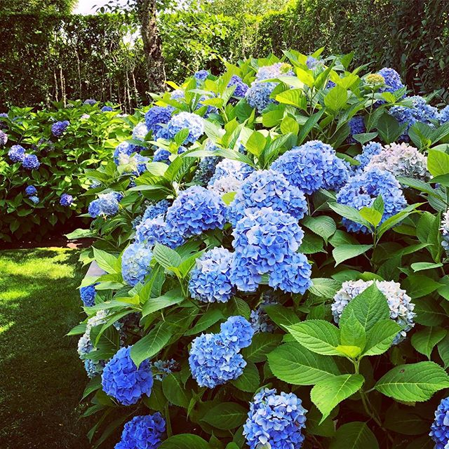 Summer Blues #endlesssummer #hydrangea #summerblues #summergarden #colorinspo #islandlife #newengland #nantucket