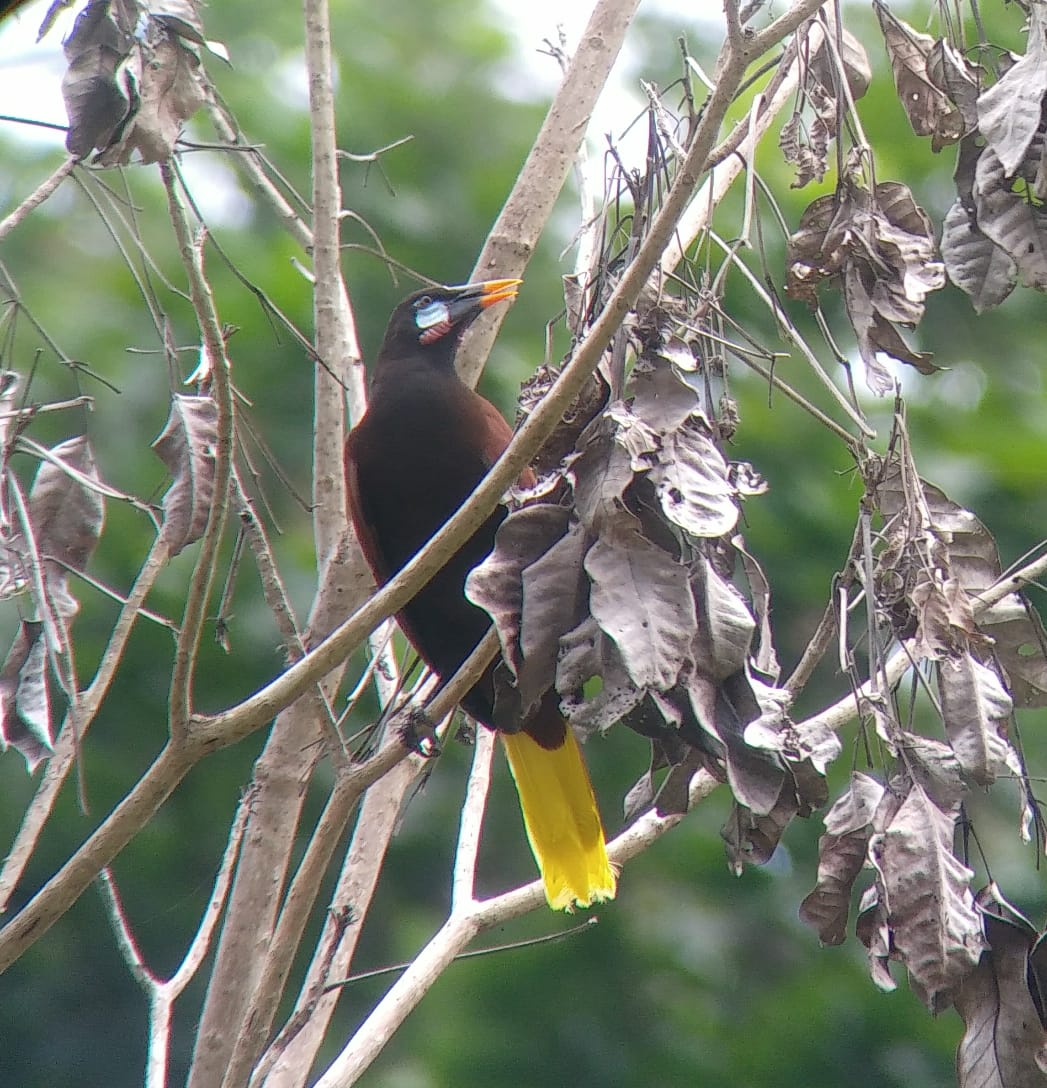 Montezuma Oropendola frequently seen on our walking tour! -