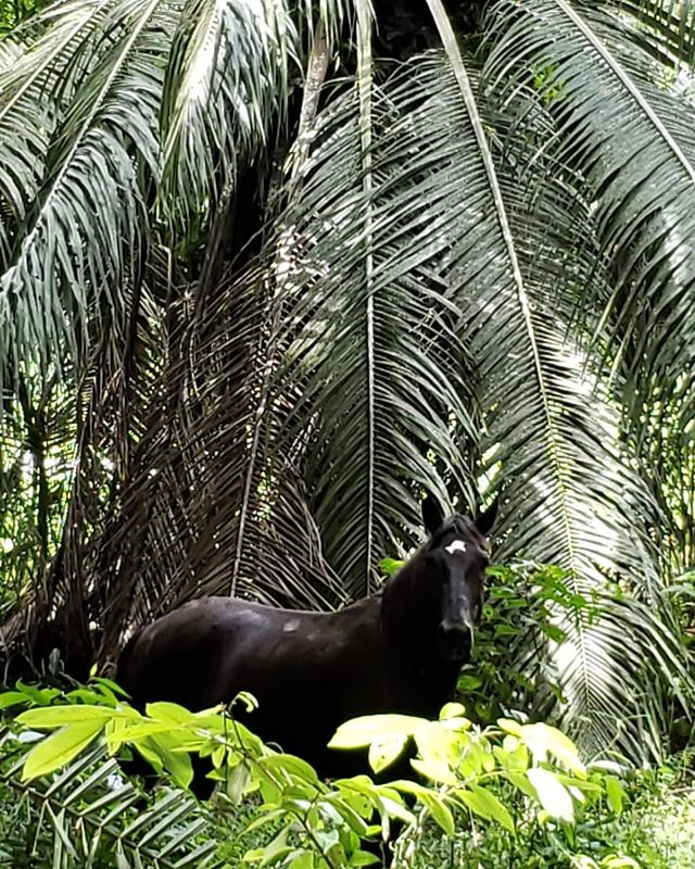 The newest member of the herd peaking out from the palms 🌴 #palms#discoveryhorsetours#horsetours#tours#green#costarica#jaco#horsesofinstagram
