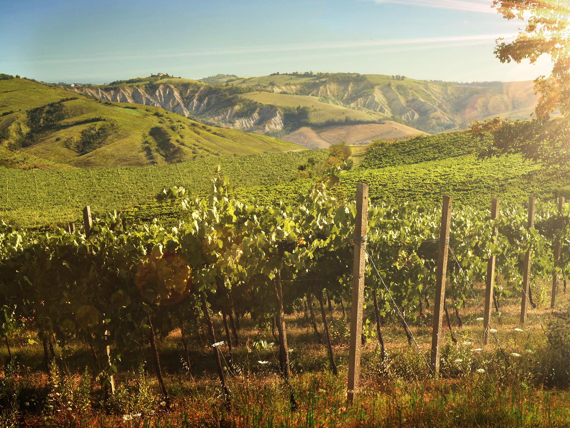Guarini-Matteucci-vini-wine-Castelfalcino-Vigne-Panorama-.png