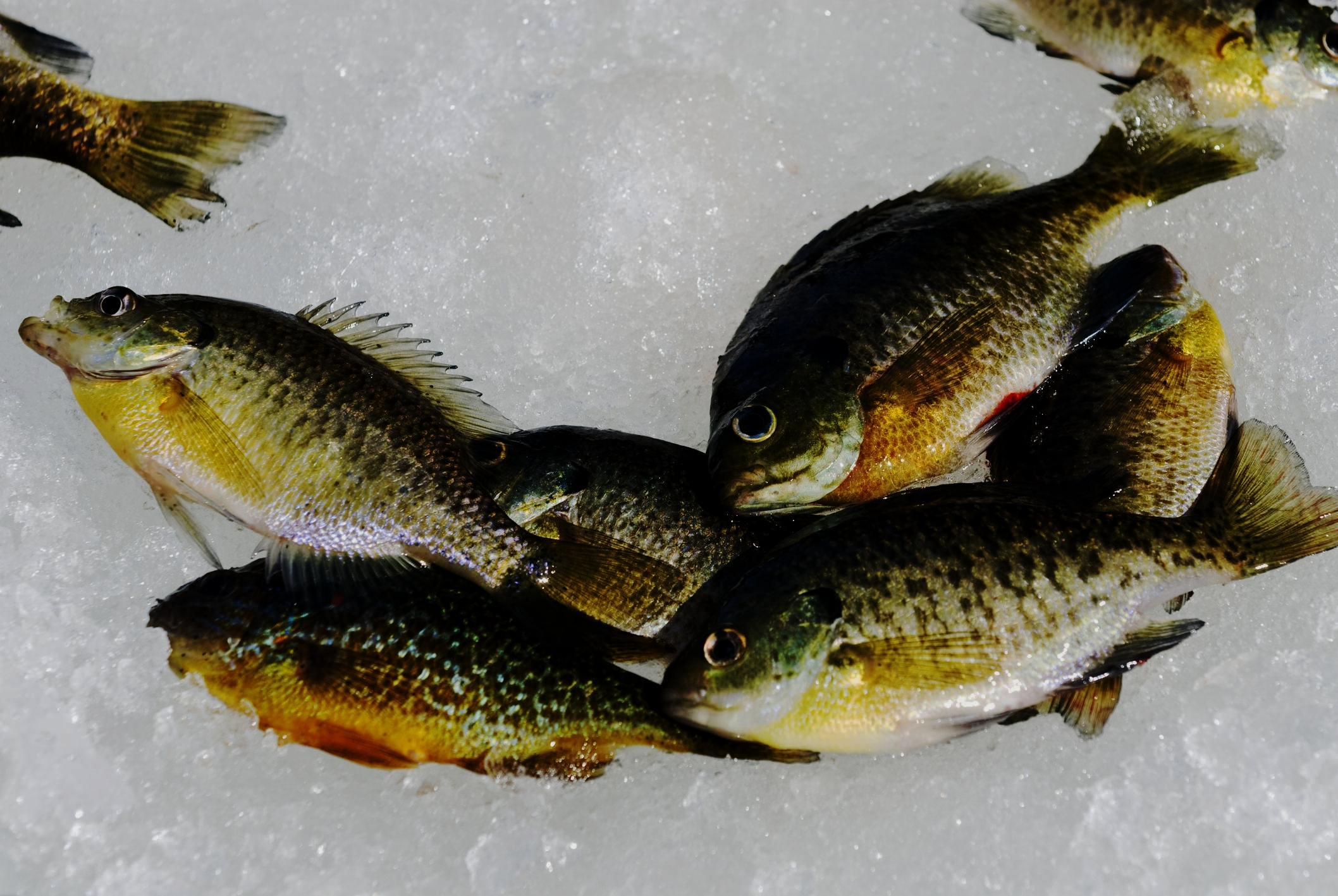 Fish Species: - -Walleye-Large Mouth Bass-Small Mouth Bass-Bluegills-Crappies-Bullheads