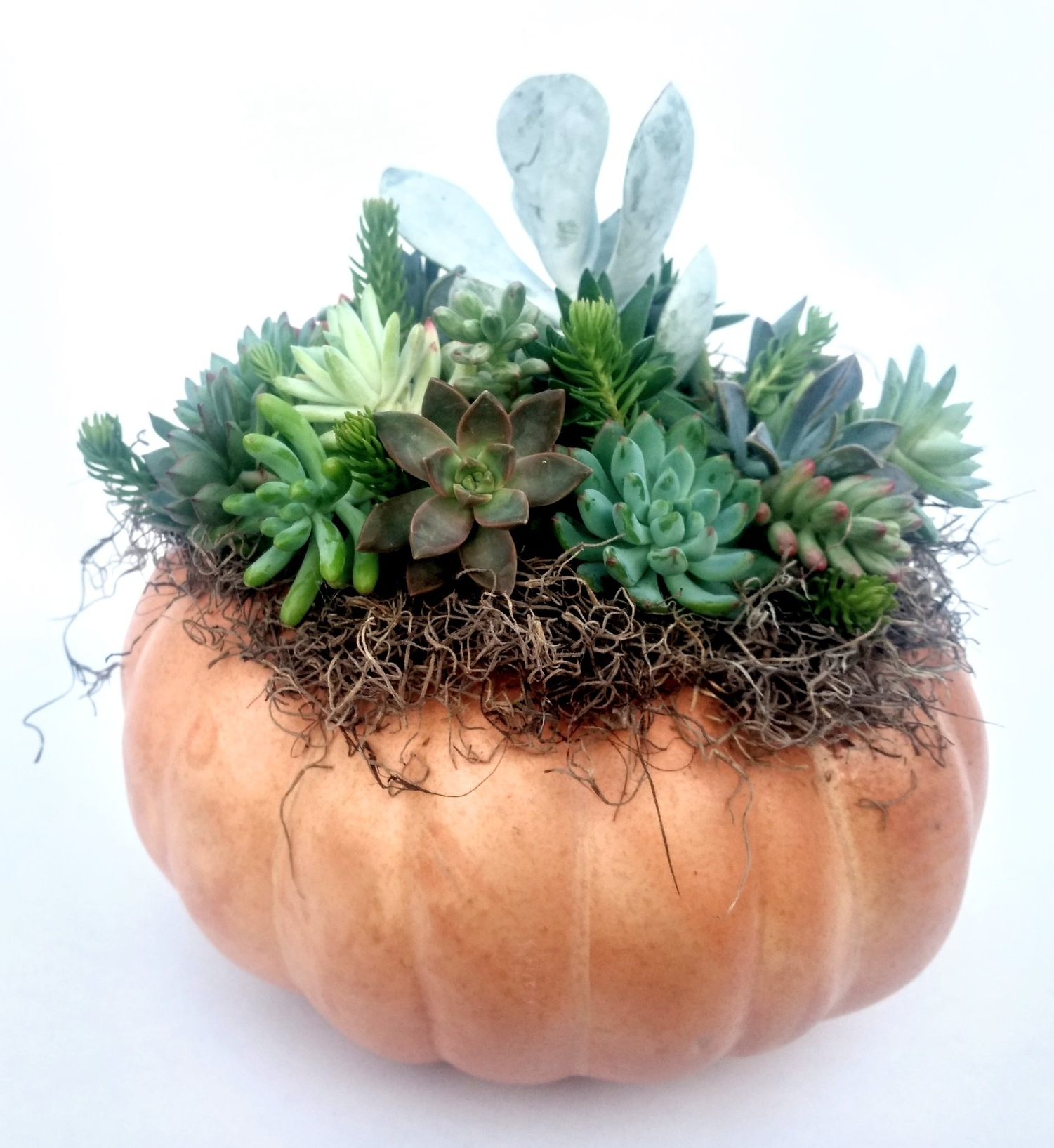 succulent pumpkin workshop petaluma sonoma san francisco bay area santa rosa