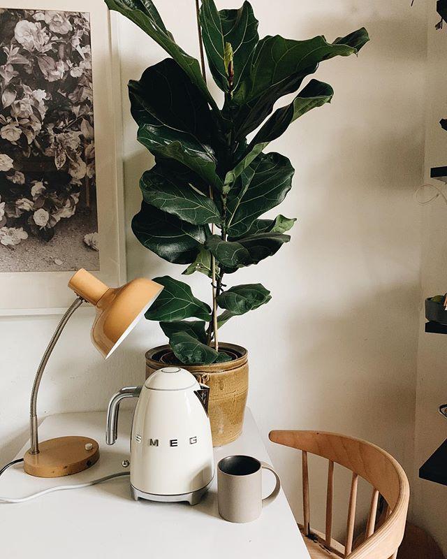 Großblättriger Ficus aka Geigenfeige 🌱  #thebotanicalpost