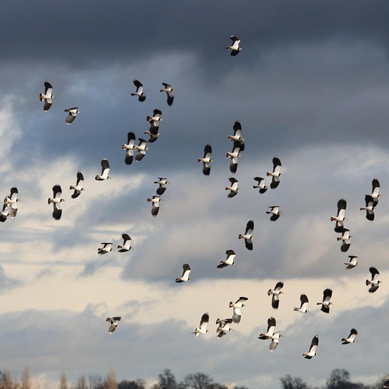 Lapwings in flight (Chris Harris)