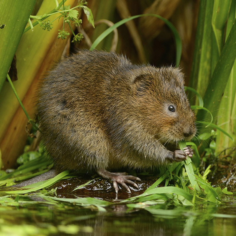 Water vole (Ben Andrew, RSPB-images.com)