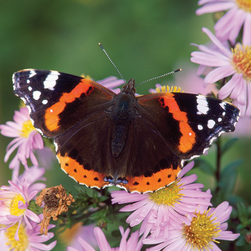Red admiral (Chris Gomersall, RSPB-images.com)