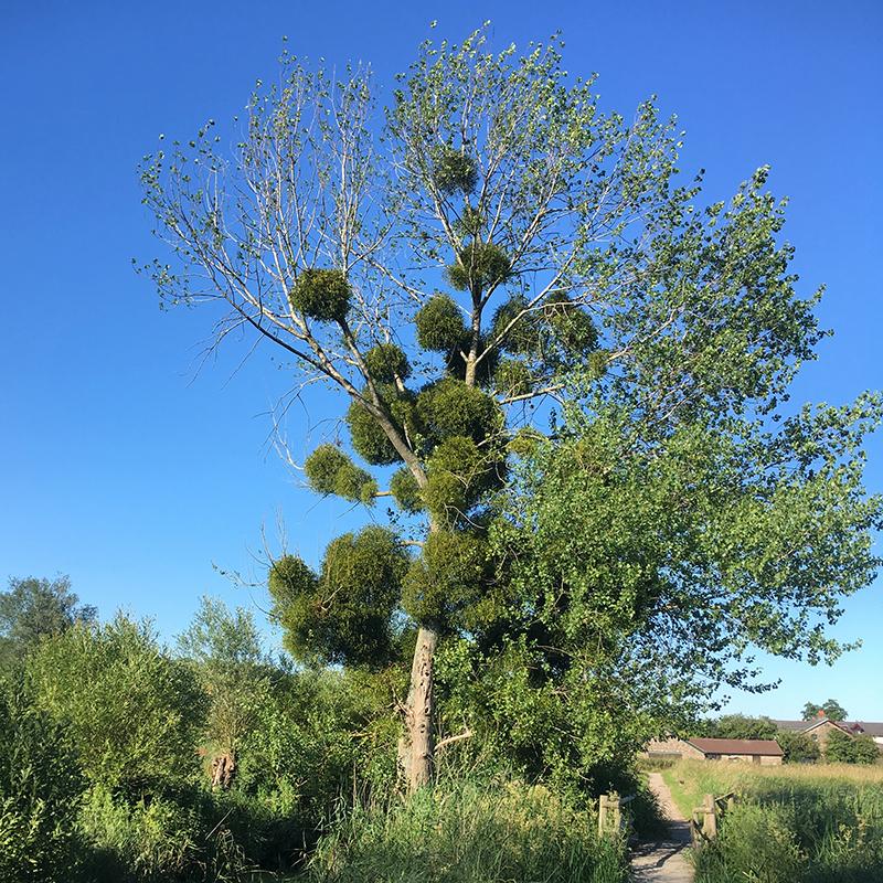 Mistletoe, Magor Marsh (Chris Harris)