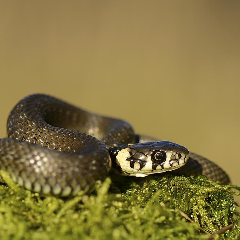 Grass snake (Ben Andrew, RSPB-images)