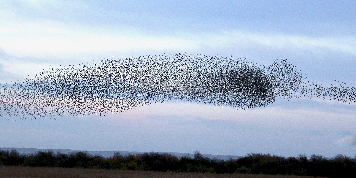 Starling murmuration, Newport Wetlands