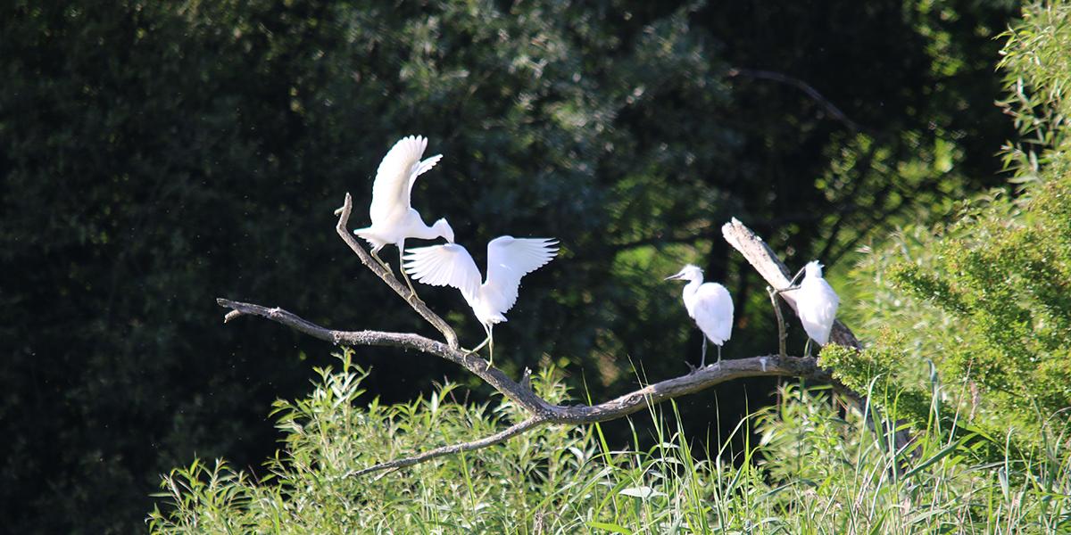 Little egrets, Magor Marsh