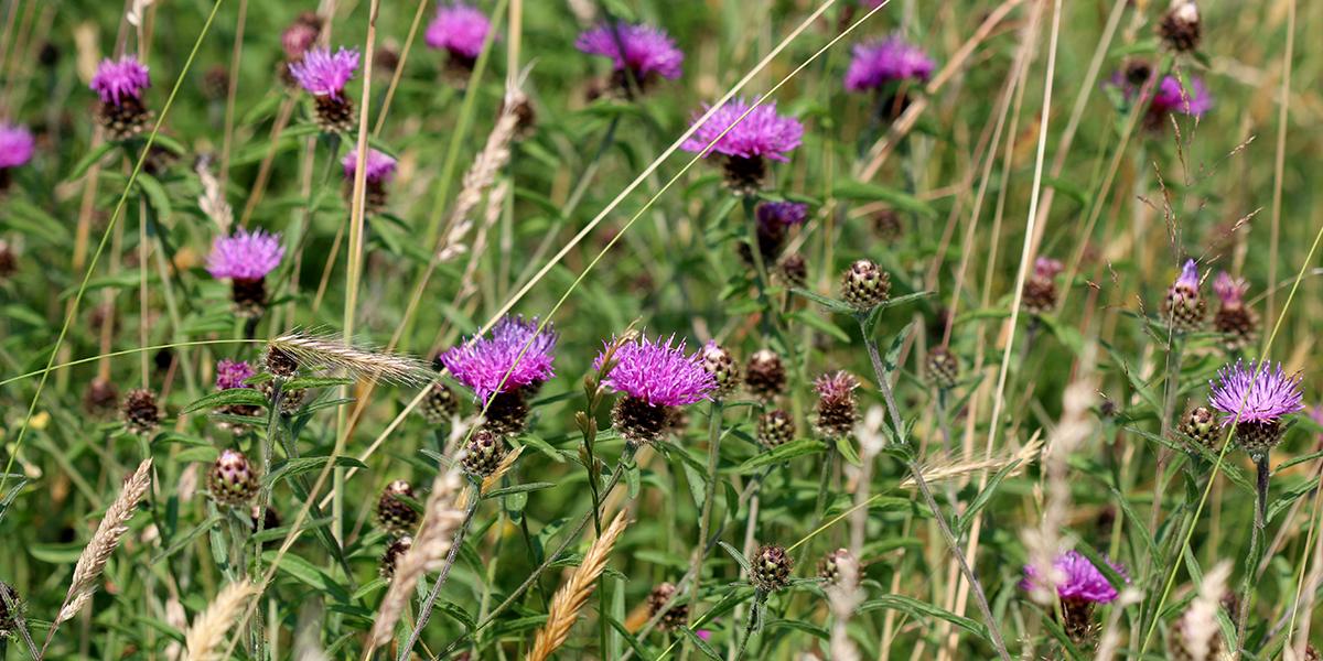 Knapweed, Great Traston Meadow