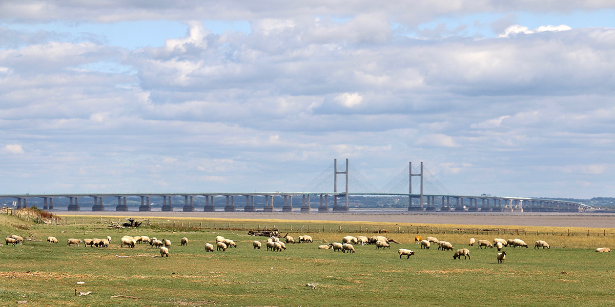 Sheep grazing on the foreshore near Collister Pill (Chris Harris)