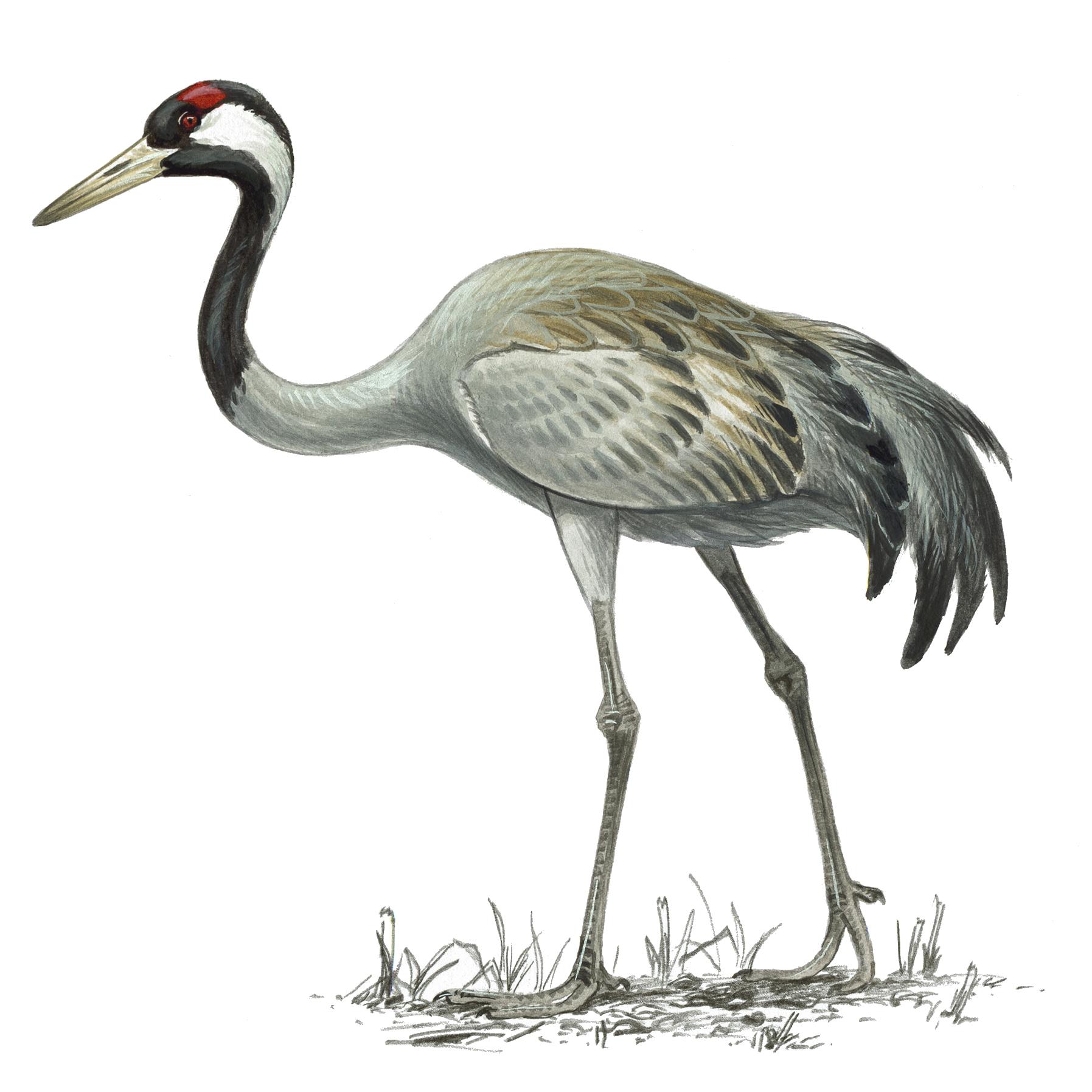 - Common Crane (Mike Langham, RSPB-images.com)