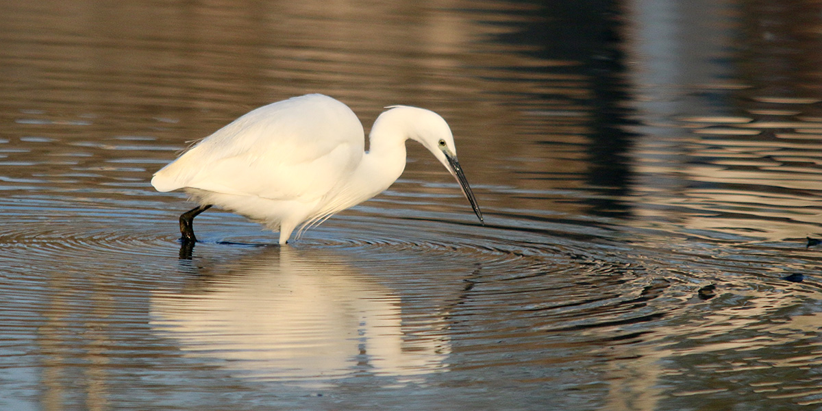 Little egret (Chris Harris)