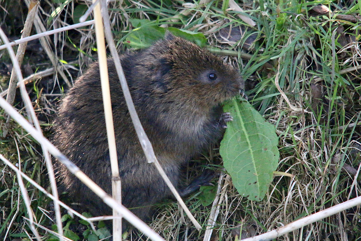 Water vole diet includes over 200 different plant species